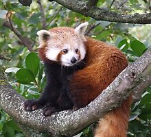 Red Panda by mbutwell