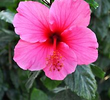 PINK HIBISCUS WITH RED THROAT AND RED STYBUS by JAYMILO