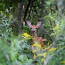 Fawn Hiding - White tailed deer by Jim Cumming