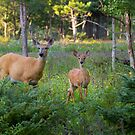 White-tailed deer and fawn by Jim Cumming