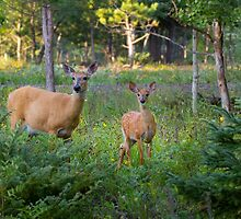White-tailed deer doe and fawn by Jim Cumming