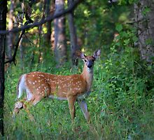 White-tailed deer fawn by Jim Cumming
