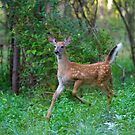 White-Tailed Deer Fawn on the run by Jim Cumming