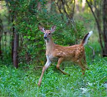 White Tailed Deer Fawn on the run by Jim Cumming