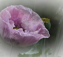Pink Poppy by Elaine Teague
