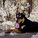 Kelpie at shearing time by Penny Kittel