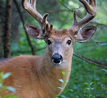 White-tailed deer Buck by Jim Cumming