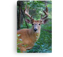 White-tailed deer Buck Canvas Print