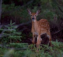 Deep Woods  - White Tailed Deer Fawn by Jim Cumming