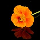 Nasturtium with Reflection by Lynn Gedeon