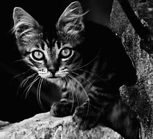 Chat sauvage by Jean-Luc Rollier