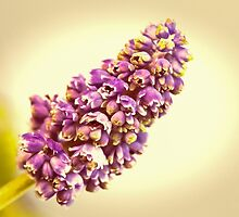 Vintage Muscari by Caitlyn Grasso