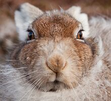 Mountain Hare Face On by cjdolfin