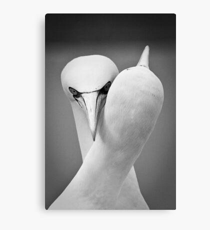 Embracing Gannets Canvas Print