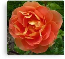 Peachy coloured rose Canvas Print