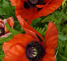 Poppies by g369