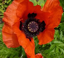 poppy by g369