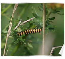 Cinnabar Moth Caterpillar at Gwithian Nature Reserve in Cornwall.  Poster