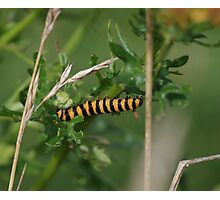 Cinnabar Moth Caterpillar at Gwithian Nature Reserve in Cornwall.  Photographic Print