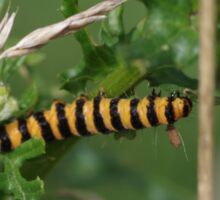 Cinnabar Moth Caterpillar at Gwithian Nature Reserve in Cornwall.  Sticker