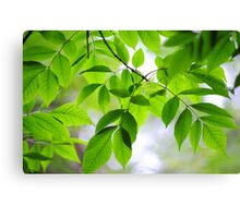 Green Leaves of Ash Tree Canvas Print