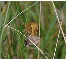 Gatekeeper Butterflies mating at Gwithian Nature Reserve in Cornwall. Photographic Print