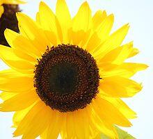Sunflower by Sheryl Hopkins