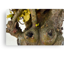 Gnarled Trunk of Ancient Holly Tree 3 Canvas Print