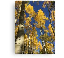 Aspen Trees and Sky with Sky Canvas Print