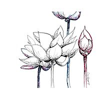 Lotus Red, White and Blue Photographic Print