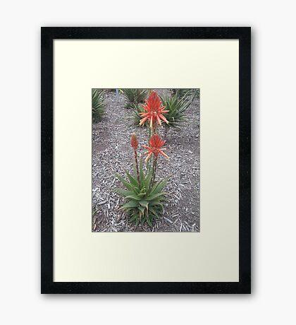 Red Hot Poker, Flagstaff Gardens Framed Print