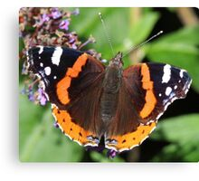 Red Admiral butterfly  111 Canvas Print