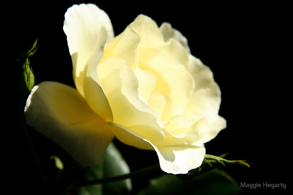 Soft Lemon rose by Maggie Hegarty