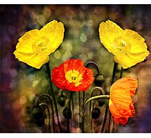 Yellow and Red Poppies Photographic Print
