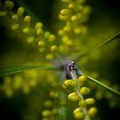 Blooming Wattle by Kate Caston