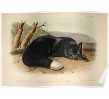James Audubon - Quadrupeds of North America V3 1851-1854  American Black or Silver Fox Poster