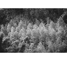 eucalyptus forest Photographic Print