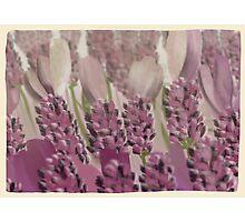 Vintage Lavender Photographic Print