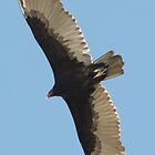 SOAR!  Beauty! Predatory birds along coastal shores of CA; Just S.Morro Bay USA (2476 Views 9/18/2013) by leih2008