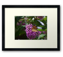 Painted Lady Butterfly on a Buddleia flower Framed Print