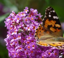 Painted Lady Butterfly on a Buddleia flower in Cornwall.  Sticker