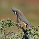 Mousebird by Macky