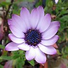 Open Hearted Daisy by kathrynsgallery