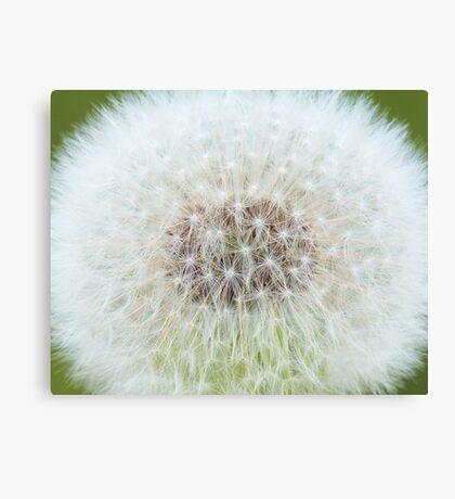 Fluffy Dandelion Canvas Print