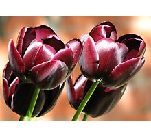 Singing of Spring - Quartet of Tulips Photographic Print