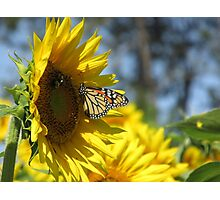 butterfly on a sunflower pt.2 Photographic Print