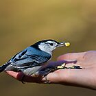 nuthatch feeding by Manon Boily