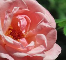 Late Summer Rose Sticker
