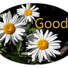 white daisy flower goody design by naturematters