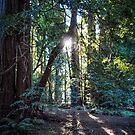Muir Woods by Yukondick